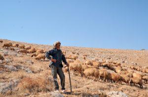 Lammaspaimen ja lampaita aurinkoisessa rinteessä.