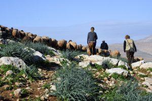 Lampaita, paimen ja kaksi EAPPI-tarkkailijaa kulkee rinteessä.